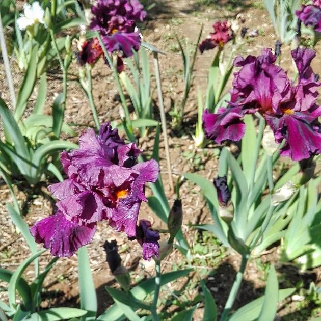 Visita guidata ai giardini dell 39 iris e delle rose giardino - Giardino dell iris firenze ...